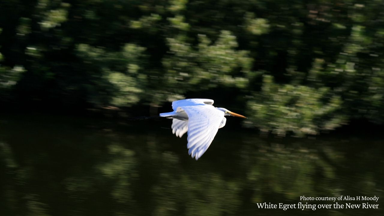 White Egret flying above the New River
