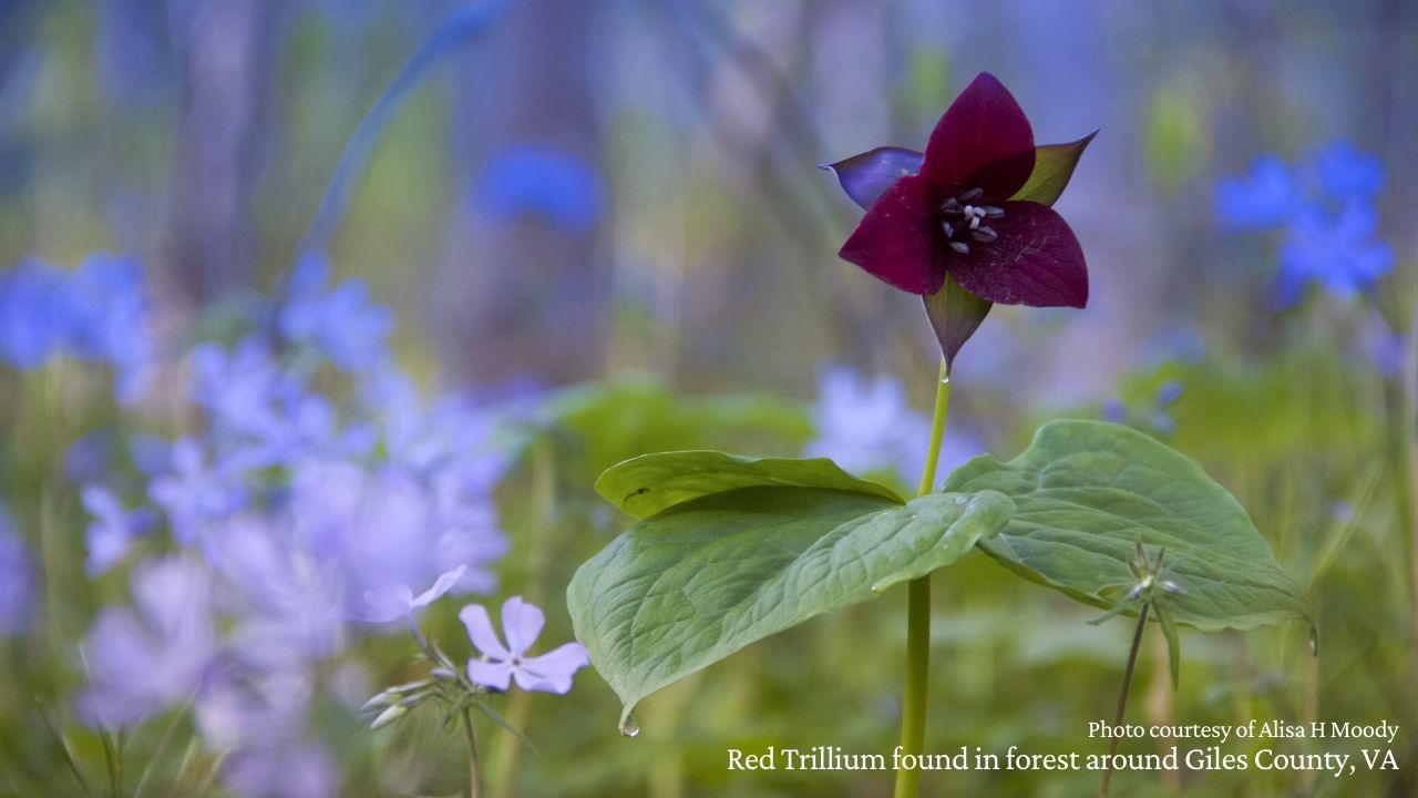 Red Trillium on forest floor